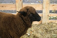 Close up of dark brown sheep of the Romanov breed. Sheep in a pe royalty free stock photos