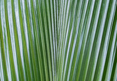 Close up of Dark Green Palm Leaf in The Forest with Abstract Line and Sunlight Shade used as Nature Background Texture or Template. To input Text Royalty Free Stock Image