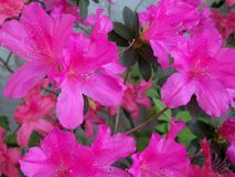Close up of dark pink Azaleas. Closeup of a bunch of frilly dark pink Azalea flowers in full bloom royalty free stock photography