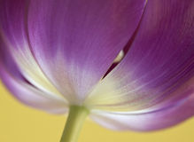 Close-up of dark pink tulip on yellow Stock Photo