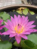 Close up Dark pink waterlily or Yellow lotus. With green leaves from Tropical forest stock photography