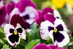 Close up of dark pink and white pansies Stock Image