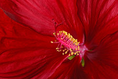Close-up of a dark red hibiscus flower. Close-up view of a dark red flower of hibiscus (Hibiscus moscheutos hybrid, swamp-rose mallow or rose mallow) showing the Royalty Free Stock Photography