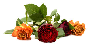 Close-up of dark red rose flower with three other blooms Stock Photos