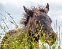 Close up of a Dartmoor Pony foal, in Dartmoor, Devon UK. Close up of a Dartmoor Pony foal, in Dartmoor, Devon, UK stock photos