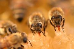 Close up das abelhas no favo de mel Foto de Stock