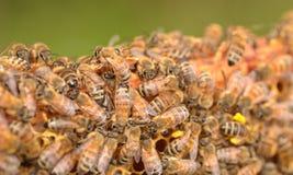 Close up das abelhas no favo de mel Imagens de Stock Royalty Free