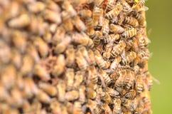 Close up das abelhas no favo de mel Fotografia de Stock