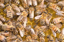 Close up das abelhas no favo de mel Imagem de Stock