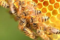 Close up das abelhas no favo de mel no apiário Fotografia de Stock