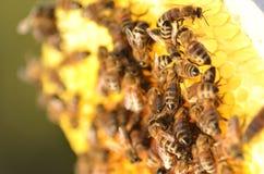 Close up das abelhas no favo de mel no apiário Imagens de Stock Royalty Free