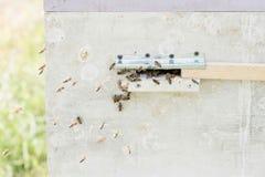 Close up das abelhas no favo de mel no apiário Foto de Stock Royalty Free