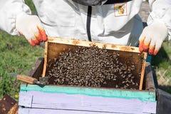 Close up das abelhas no favo de mel no apiário Imagens de Stock