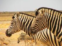 Close-up das cabeças de duas zebras foto de stock