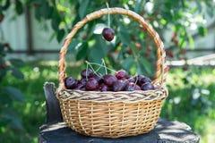Close up das cerejas em uma cesta cesta com cerejas escolhidas Fotografia de Stock