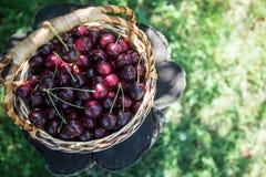 Close up das cerejas em uma cesta cesta com cerejas escolhidas Imagens de Stock
