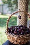 Close up das cerejas em uma cesta cesta com cerejas escolhidas Fotos de Stock Royalty Free