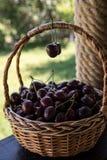 Close up das cerejas em uma cesta cesta com cerejas escolhidas Foto de Stock Royalty Free