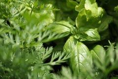 Close-up das ervas com gotas da água: manjericão, salada, erva-doce Fotos de Stock Royalty Free