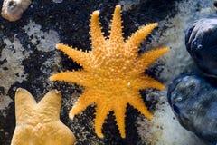 Close-up das estrelas e dos escudos de mar Imagem de Stock