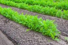 Close up das fileiras com plantas da cenoura fotografia de stock royalty free