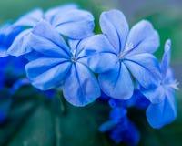 Close-up das flores Azul-violetas da hort?nsia imagens de stock
