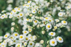 Close up das flores das camomilas de campo fotografia de stock royalty free