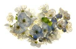 Close-up das flores da ameixa Foto de Stock Royalty Free
