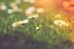 Close-up das flores das margaridas do prado na luz solar Imagem de Stock Royalty Free