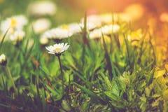 Close-up das flores das margaridas do prado no verão Imagem de Stock