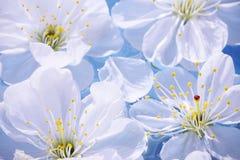 Close-up das flores de cereja fotos de stock