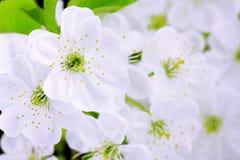 Close-up das flores de cereja fotos de stock royalty free