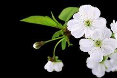 Close-up das flores de cereja imagens de stock