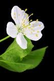 Close-up das flores de cereja fotografia de stock royalty free
