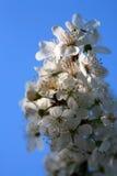 Close up das flores de cereja Fotografia de Stock Royalty Free