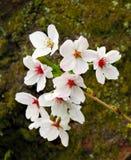 Close up das flores de cereja Imagem de Stock Royalty Free