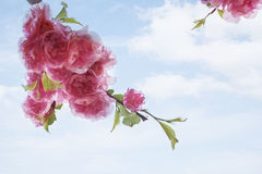 Close-up das flores de cerejeira cor-de-rosa. Imagem de Stock