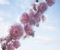 Close-up das flores de cerejeira cor-de-rosa. Foto de Stock