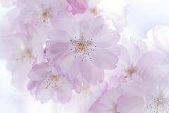 Close up das flores de cerejeira da mola no fundo borrado foto de stock