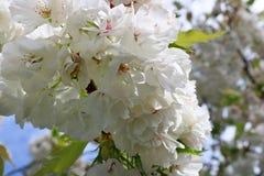 Close-up das flores de cerejeira que florescem em um dia de mola ensolarado foto de stock royalty free