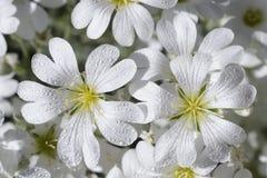 Close-up das flores delicadamente brancas em um sol brilhante Foto de Stock Royalty Free