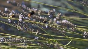 Close-up das flores e dos zangões da alfazema que recolhem o néctar ou o pólen e que polinizam as flores no prado dentro filme