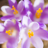 Close-up das flores pequenas violetas do açafrão Fotografia de Stock Royalty Free