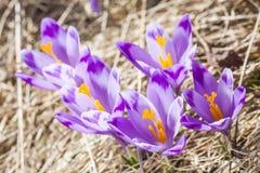 Close-up das flores pequenas violetas do açafrão Imagem de Stock
