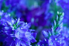 Close-up das flores selvagens Fotos de Stock