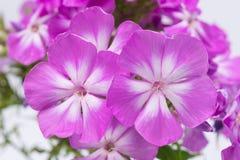 Close-up das flores violetas, com um núcleo branco imagens de stock