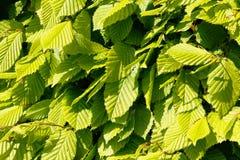 Close-up das folhas da faia Imagens de Stock