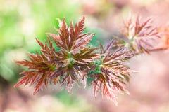 Close-up das folhas de bordo da mola no fundo colorido do bokeh Imagens de Stock Royalty Free