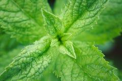 Close-up das folhas de hortelã Foto de Stock Royalty Free