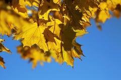 Close-up das folhas de outono Fotografia de Stock